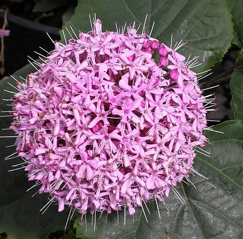 Clerodendron bungei Clerodendron semi