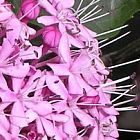 Clerodendron bungei  cемян