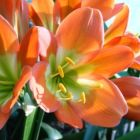 Clivia Bronze Green Centre  semillas