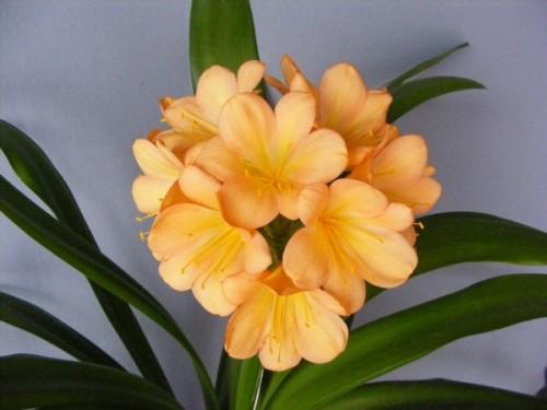 Clivia Cameron Peach Clivia pfirsischfarben Samen