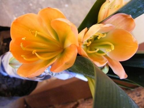 Clivia Cameron peach green centre Clivia pfirsisch-grün Samen