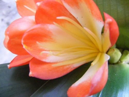 Clivia Daruma Clivia rot-gelb Samen
