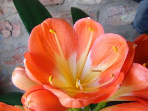 Clivia Large Tulip Orange Clivia orange Samen