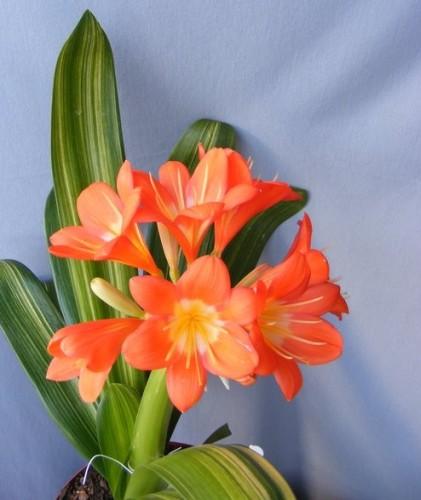 Clivia Nakamura Variegated Orange Clivia verschiedene Gelbtöne Samen