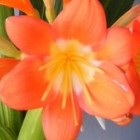 Clivia Nakamura Variegated Orange  cемян