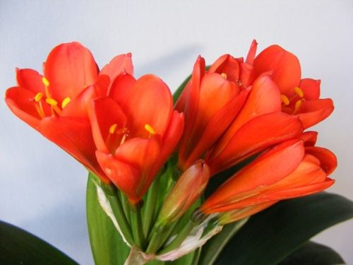 Clivia Toy Red Lady Clivia rot Samen