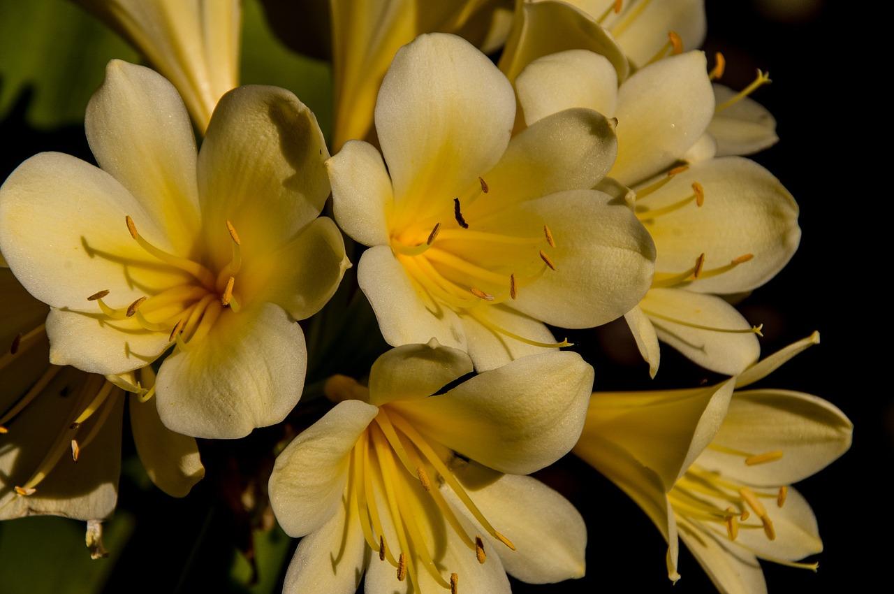 Clivia Vico Yellow Variegated Clivia gelb Samen