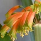 Clivia gardenii  cемян