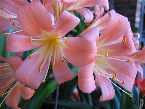 Clivia miniata 40 TF Pink Clivia rosa, Pfirsich und Pastell Samen