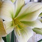 Clivia miniata Bill Morris Yellow Green Centre  cемян