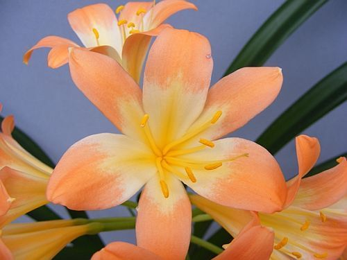 Clivia miniata Full throat pastel  Семена