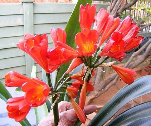 Clivia miniata Garsfontein red Clivia – orange und rot Samen
