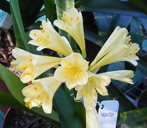 Clivia miniata Moondrops 2 Interspecific  semillas