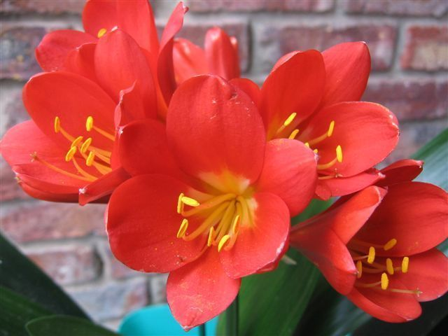 Clivia miniata Perfecta Red Like Japie Red Clivia – orange und rot Samen