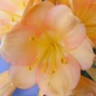 Clivia pale peach  cемян