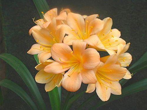 Clivia peach219 Clivia Samen