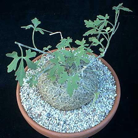 Coccinia palmata Caudexpflanze Samen