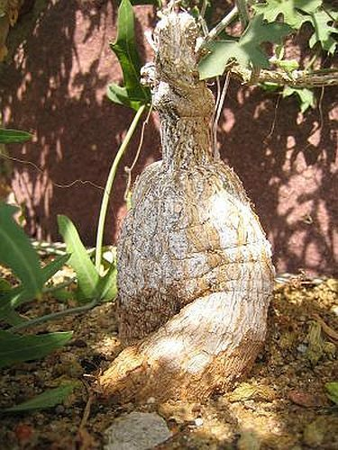 Coccinia rehmanii Caudexpflanze Samen