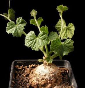 Coccinia trilobata syn: Peponia parviflora Samen
