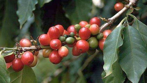 Coffea arabica Arabica Kaffee Samen