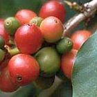 Coffea arabica pianta del caff? semi