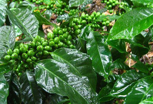 Coffea robusta Robusta Kaffee Samen