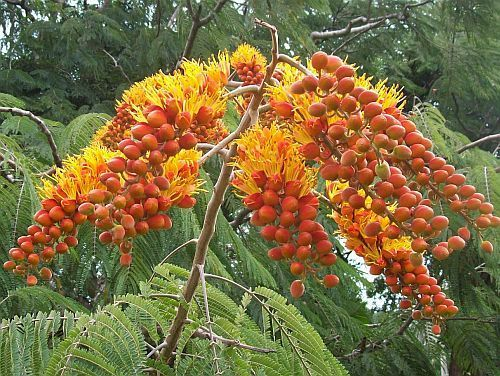 Colvillea racemosa Scharlachfederbaum Samen