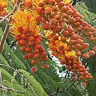 Colvillea racemosa Flamboyant ? grappes graines