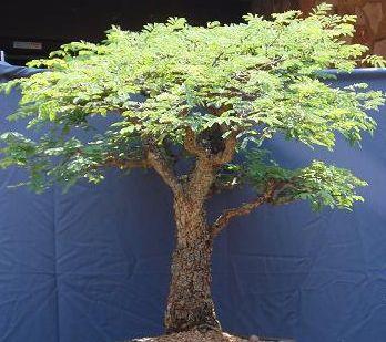 Commiphora africana v. glaucidula  semi