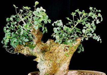 Commiphora campestris  semillas