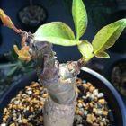 Commiphora unilobata Super seltene Caudexpflanze Samen