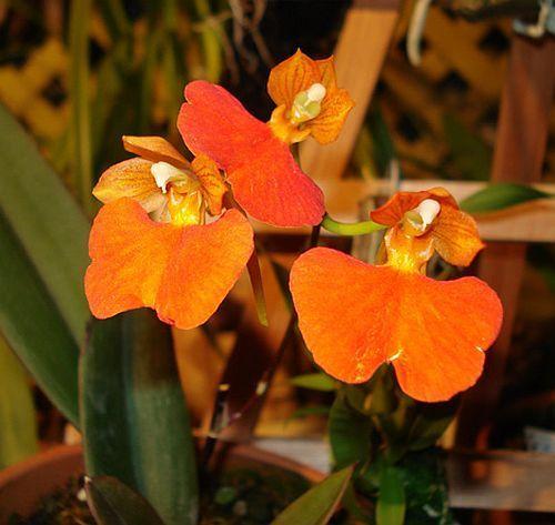 Comparettia coccinea Orchideen Samen