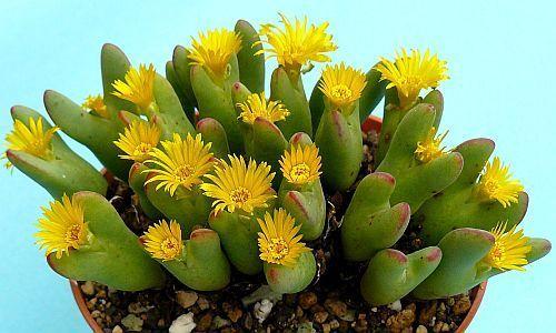Conophytum bilobum Sukkulente Samen