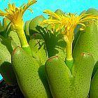 Conophytum bilobum  cемян