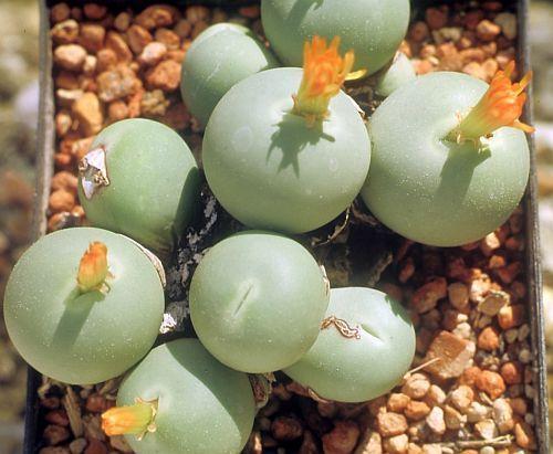 Conophytum calculus succulente graines