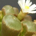 Conophytum carolii syn: Ophthalmophyllum carolii Samen
