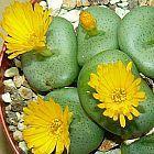 Conophytum flavum ssp flavum  cемян