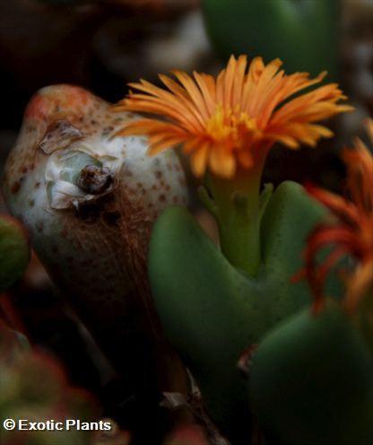 Conophytum frutescens Conophytum Samen