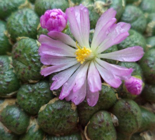 Conophytum fulleri  semillas