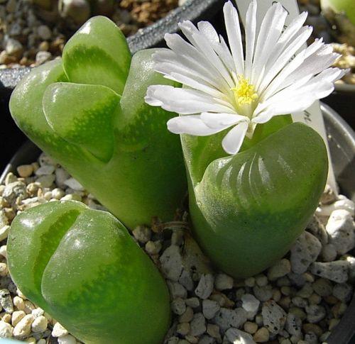 Conophytum longum  semillas