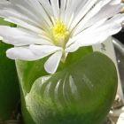 Conophytum longum syn: Ophthalmophyllum longum Samen