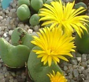 Conophytum Meyerae Syn Ophthalmophyllum Meyerae Seeds