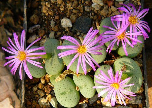 Conophytum middlemostii  semillas