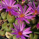 Conophytum minutum Kegelpflanze Samen