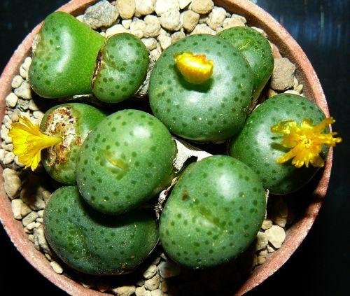 Conophytum novicium  semillas
