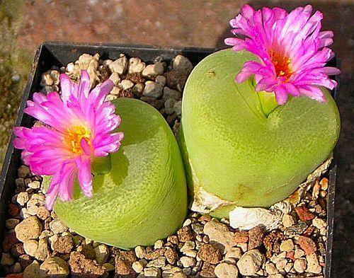 Conophytum pillansii succulente graines