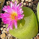 Conophytum pillansii  cемян