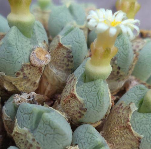 Conophytum quaesitum syn: Ophthalmophyllum quaesitum graines