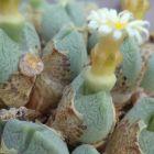 Conophytum quaesitum syn: Ophthalmophyllum quaesitum Samen