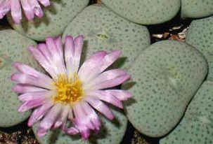 Conophytum ruschii syn: Ophthalmophyllum jucundum subs. ruschii Samen